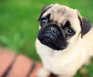 dog, pretty, and pug image