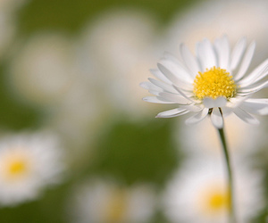 daisy and nature image