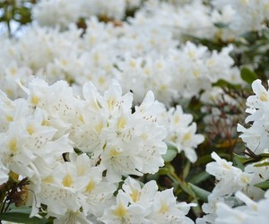 design, flower, and rhododendron image