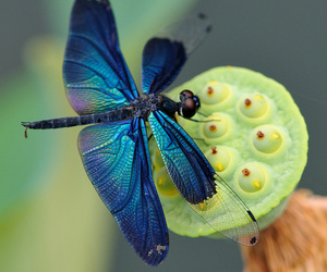 dragonfly, blue, and nature image