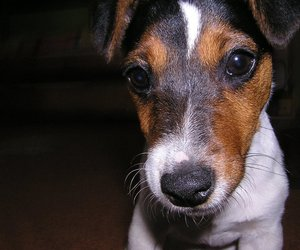 dog, jack russel terrier, and jackie image