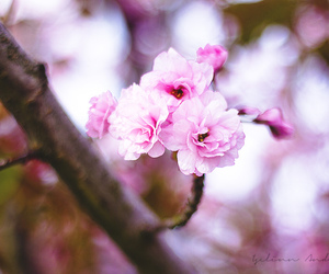 cherry, pink, and flowers image