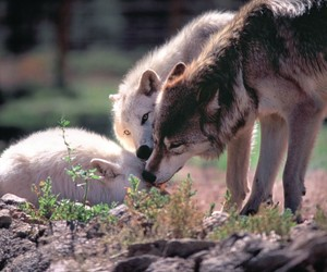 wolf, forest, and pack image