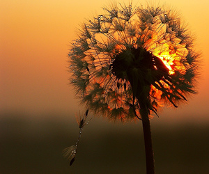 dandelion, flowers, and sunset image