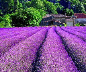 lavender, france, and provence image