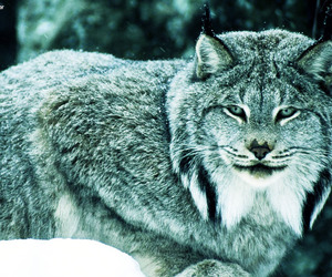 beautiful, blue, and lince image