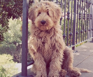 dog, cute, and labradoodle image