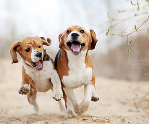 beagles and funny image