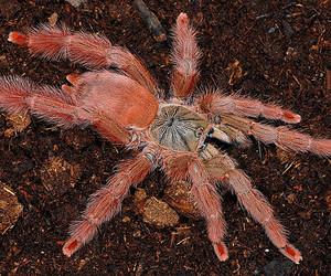 tarantula, gigas, and theraphosidae image