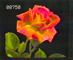 theme, rose, and rp image