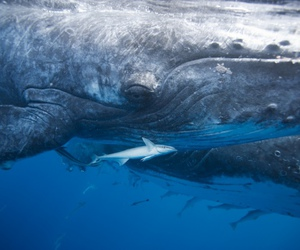 animals, big, and shark image