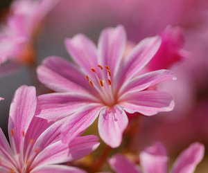 flowers, lily, and nature image