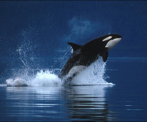 dolphin, orca, and breaching image