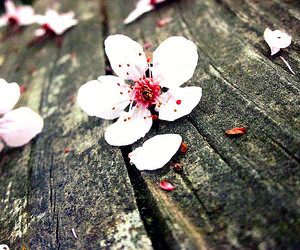 blossom, cherry blossoms, and vintage image