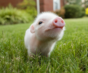 pig, cute, and animal image