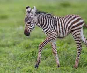 baby, zebra, and cute image