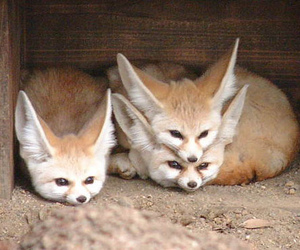 animal, fox, and funny image