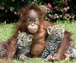 animals, monkey, and snow leopard image
