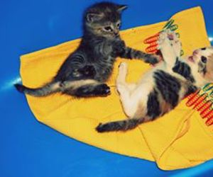 kitten, kittens, and playing image
