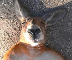 animal, kangaroo, and funny image