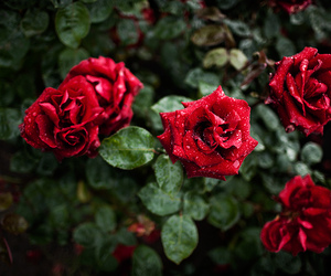 floral, rose garden, and roses image