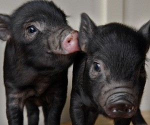 cute and micro pig image