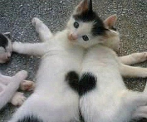 cat, fofo, and heart image