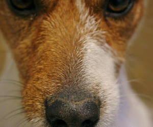 dog, Terrier, and jack russel image