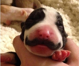 dog, puppy, and mustache image