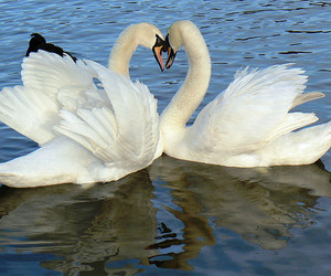 Swan, animal, and heart image
