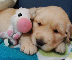 dog, cute, and pig image