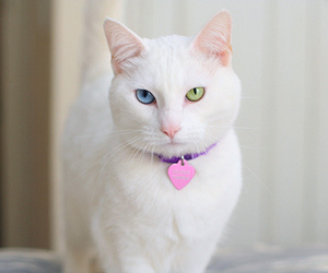 cat, white, and eyes image