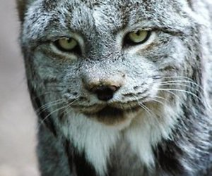 lince and lynx image