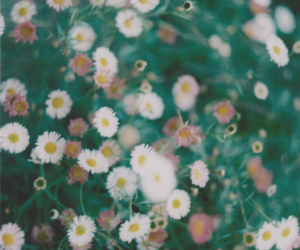 background, beautiful, and daisies image