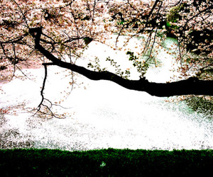 blossoms, cherry, and photography image