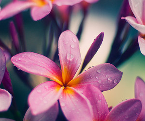 flowers, pink, and plumeria image