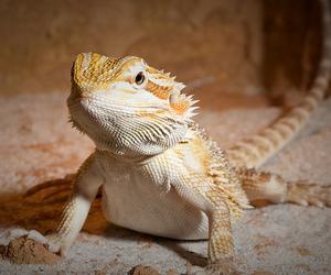 bearded dragon lizard image