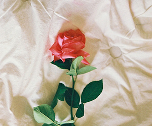 rose, flowers, and bed image