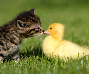 duck, cat, and duckling image