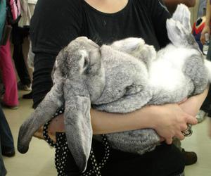 animal, bunny, and coelho image