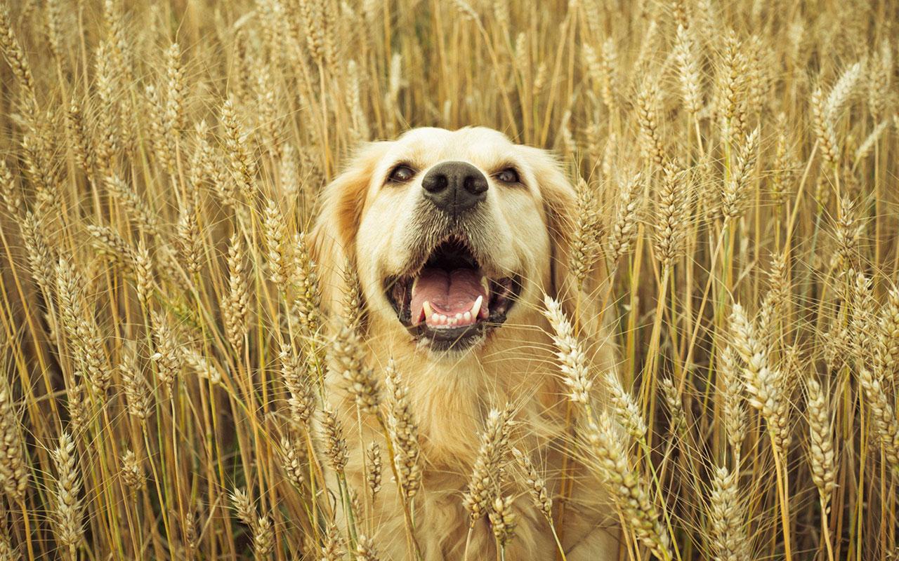 And Friendly Golden Retrievers Hd Wallpaper Animal