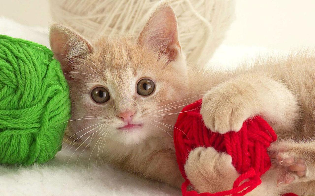 Play Cat Wallpaper Animal Wallpapers