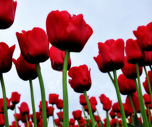 red, tulips, and flowers image