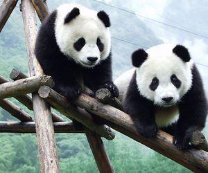 black, white, and cute panda image