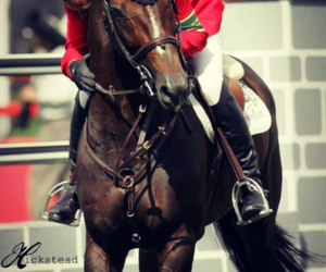 horse and show jumping image