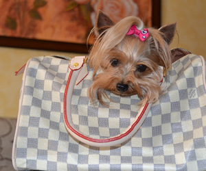 dog, Louis Vuitton, and LV image