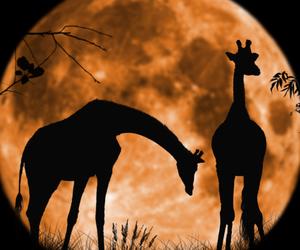 giraffe, moon, and animal image