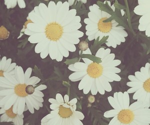 daisies, daisy, and flower image