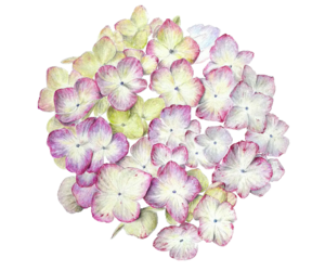 blue, hydrangea, and pink image