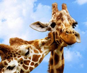 giraffe, animal, and kiss image